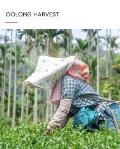 Oolong Harvest